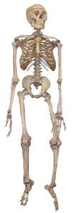 Bild: Skelett eines Menschen